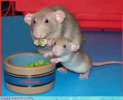 baby,noms,rat