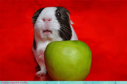 duinea pig face noms - 3206980864