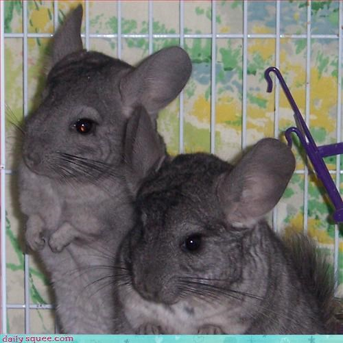 captionfail,chincillas,mice