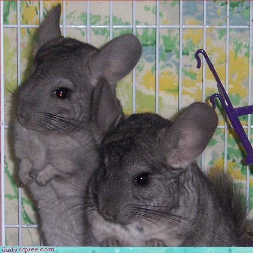 captionfail chincillas mice - 3208231424