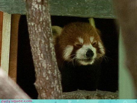 _ face red panda - 3208960000