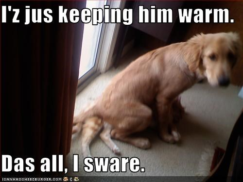 golden retriever lolcats sitting warm - 3210203136