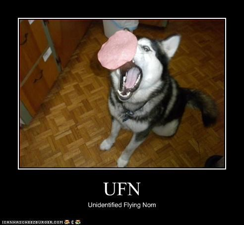flying nom siberian husky ufo - 3210565376