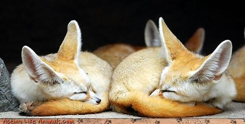 fennec fennec foxes fox - 3219815424