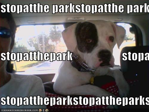 american bulldog,begging,park