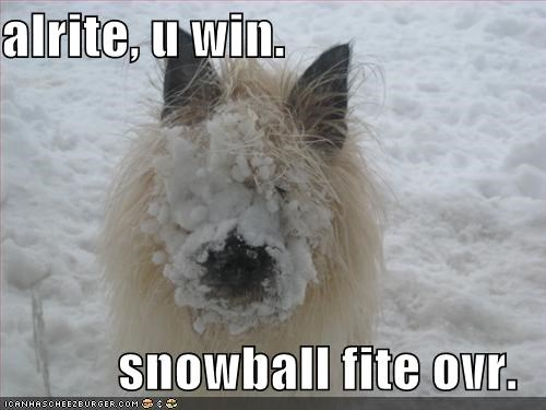 snow,wheaten terrier