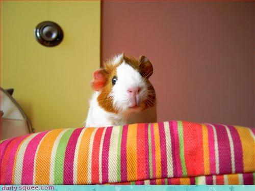 cute,face,guinea pig
