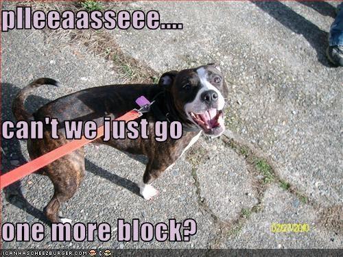 more pit bull walk - 3238463232