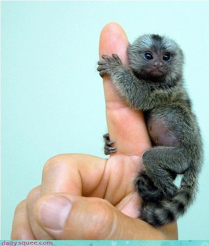 marmoset monkey so tiny - 3238799360