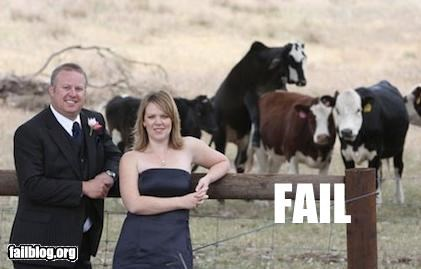animals cows failboat humping wedding