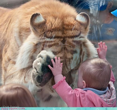 baby,tiger,zoo
