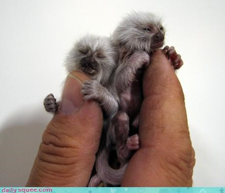 marmoset monkey so tiny - 3245013248
