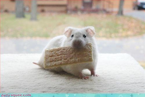 cute noms rat - 3248838144