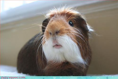 coat,face,guinea pig