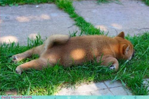 dogs,shiba inu,sleepy