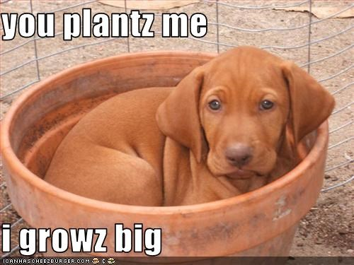 big grow labrador plants puppy