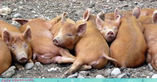 bacon pig piglets - 3268093696