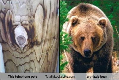 grizzly bear,pole,telephone,wood