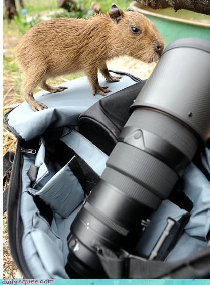 baby capybara guinea pig - 3271792384