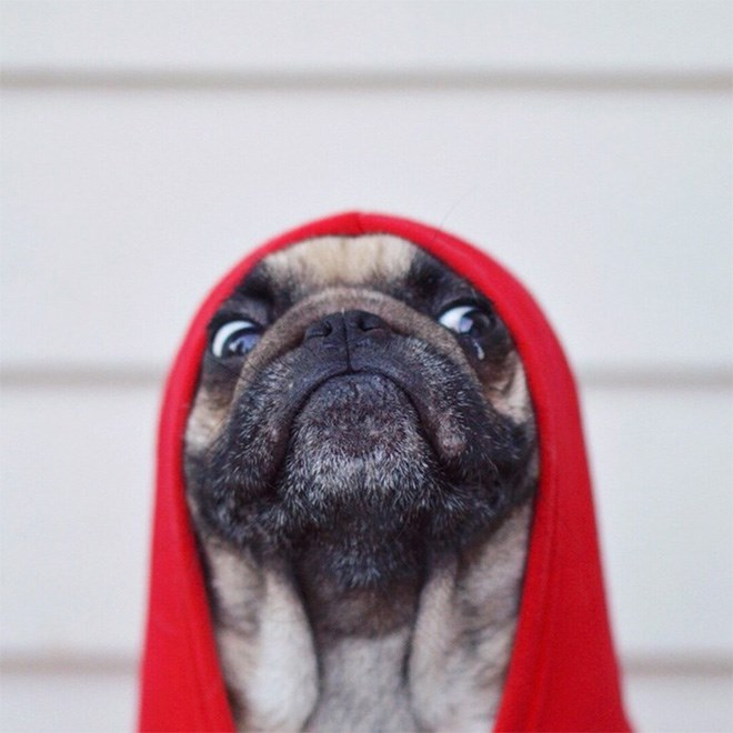 photos of pug