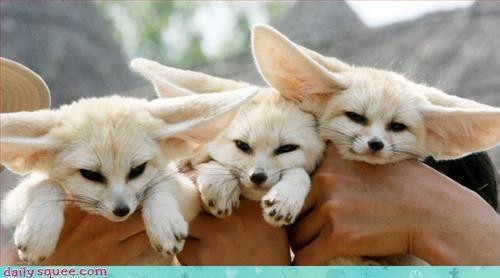 ears fennec fox - 3274032640