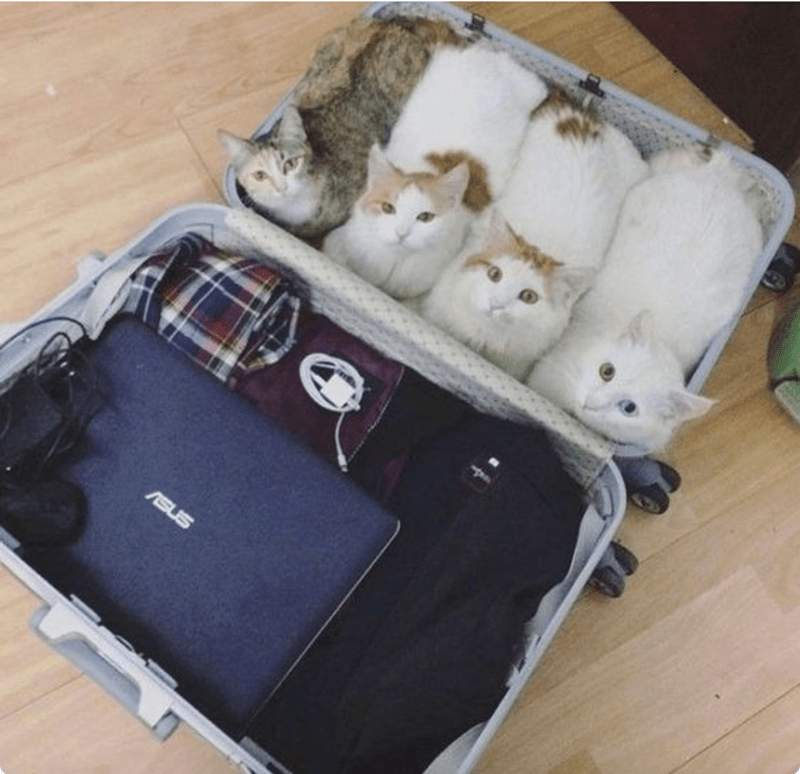 a photo of cats in a suitcase