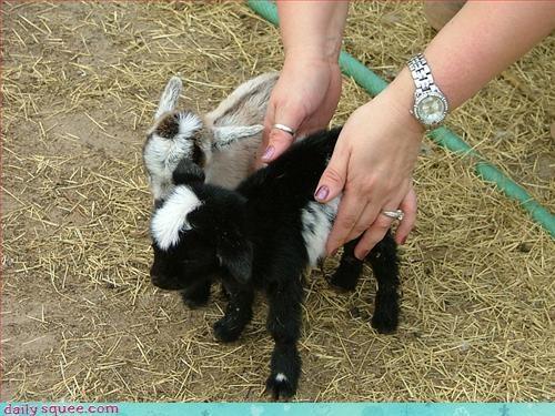 baby goat so tiny - 3275733760