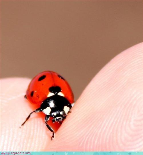 beetle,ladybug,pretty