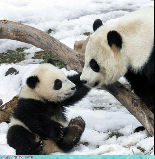 baby,mother,panda