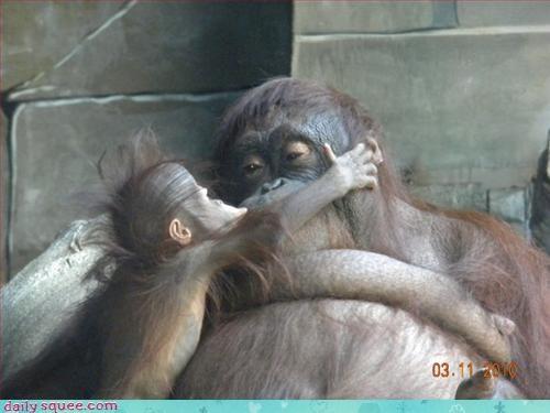cute monkey orangutan