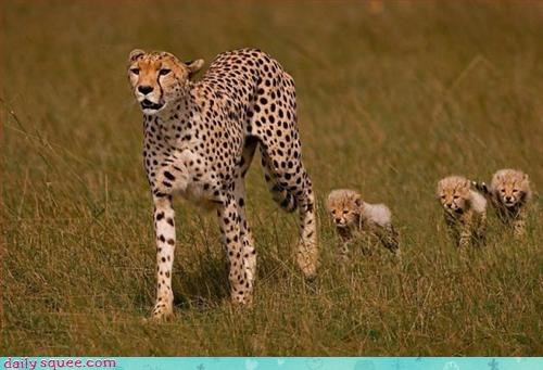 Babies,cheetah,kitten