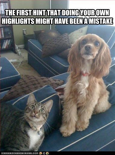 afraid cocker spaniel hair lolcats - 3287702016