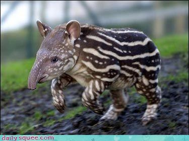 Pokémon,tapir,what is it