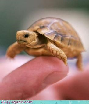 adorable,baby,turtle