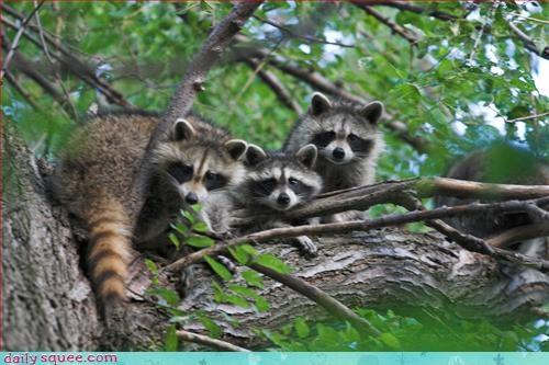 bandits cute raccoons - 3288526592