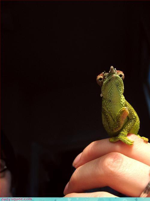 chameleon face lizard - 3295294976