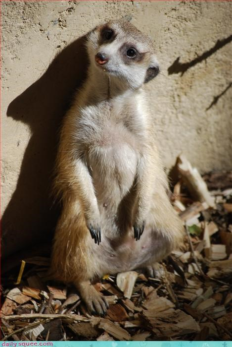 cute face meerkat - 3303104000