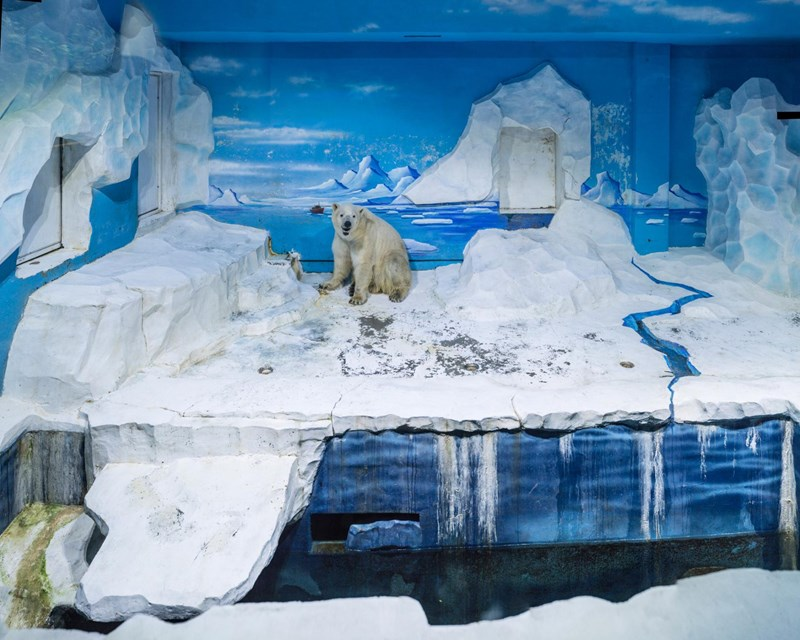 the life of white bears in captive