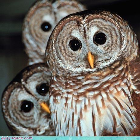 bird Owl siblings - 3304958976