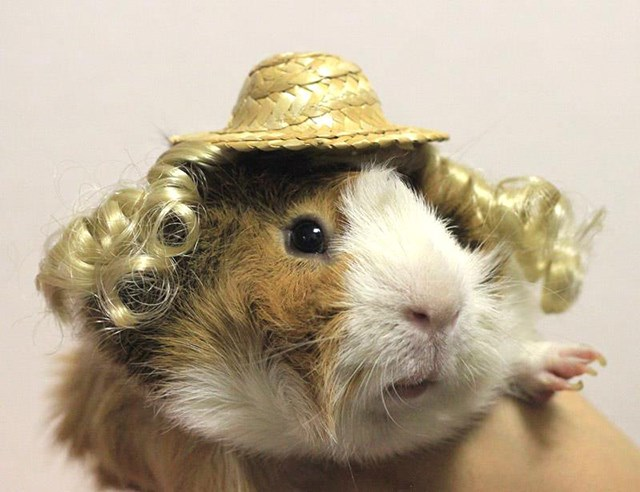 fashion accessories for Guniea Pigs