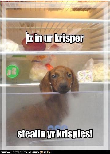 crisper,dachshund,drawer,refrigerator,stealing
