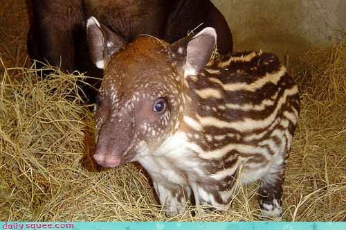 tapir weird what is it