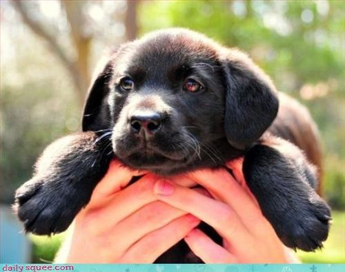 dogs lab puppy - 3309004288