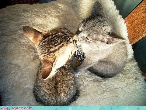 cat KISS kitten - 3309009920