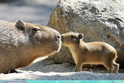 baby capybara cute - 3309596160