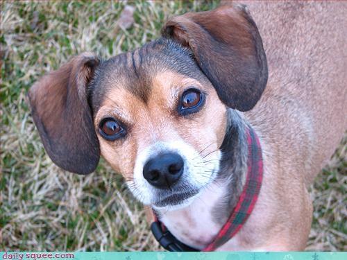 mariah carey puggle puppy - 3310454528