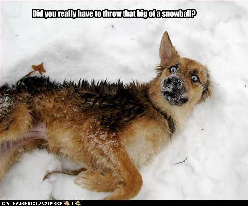 german shepherd outside snow snowball whoa - 3311446016