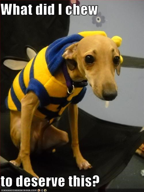 bee costume Hall of Fame italian greyhound Sad - 3313690624