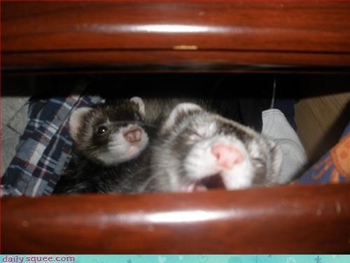 cute,dorable,facea,ferret