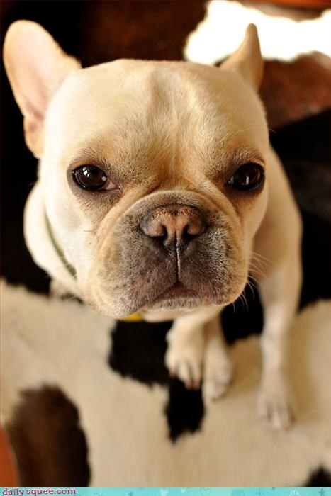 face french bulldogs puppy - 3322352896